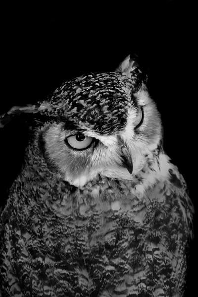 Owl in black in white