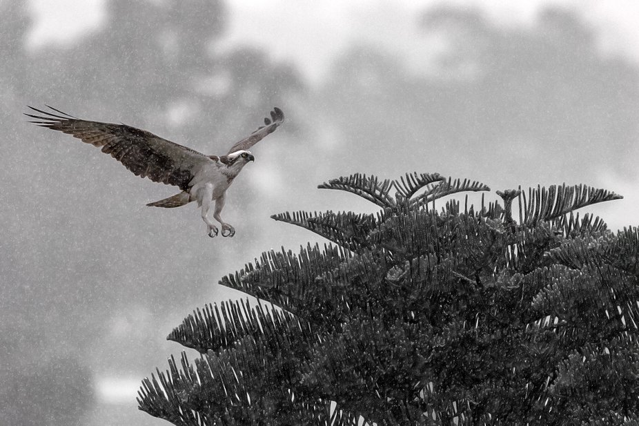 Osprey in the rain