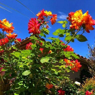 Vibrant Joseph Climbing Roses!