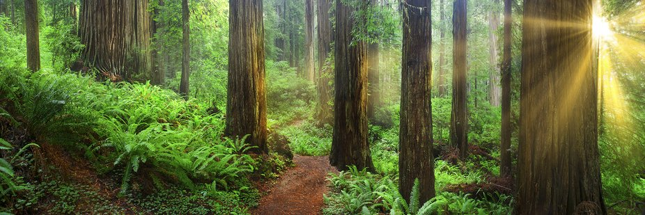 The great Redwood Trees of the North West USA