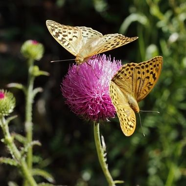 Mes de Mayo.Tiempo de mariposas en el ecosistema mediterraneo de Spain.Acuden a libar de las flores. Sierra de Francia.Spain.