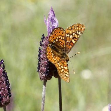 Mes de Mayo.Tiempo de mariposas en el ecosistema mediterraneo de Spain.Acuden a libar de las flores. Sierra de Francia.Spain. El cantueso es una planta aromatica muy abundante y con flor en los montes mediterraneos.