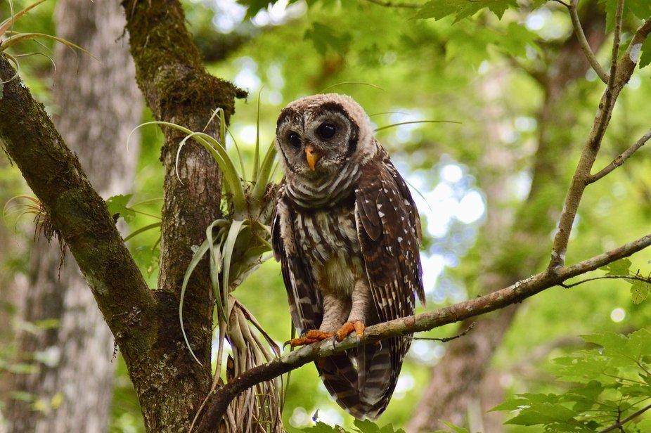 Junior Barred Owl