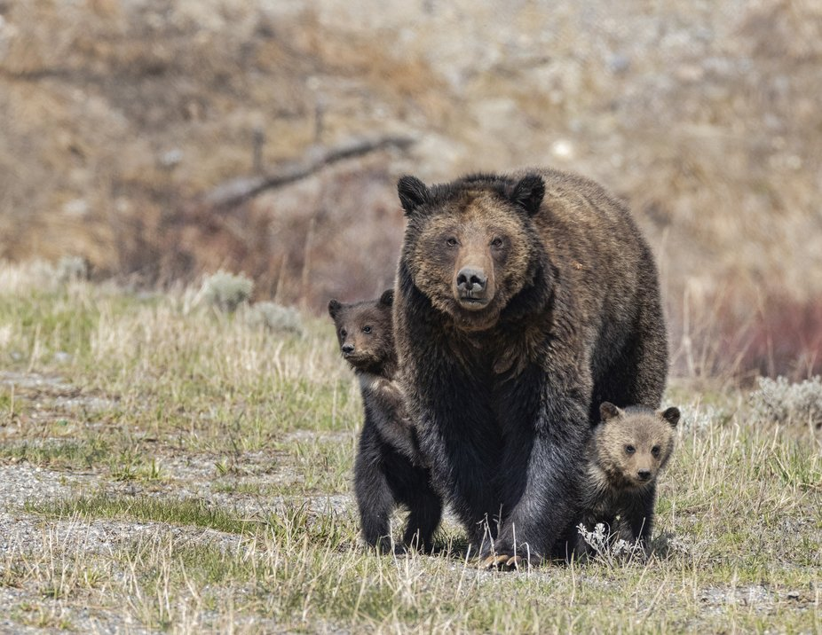 Grizzly with her two little Coy