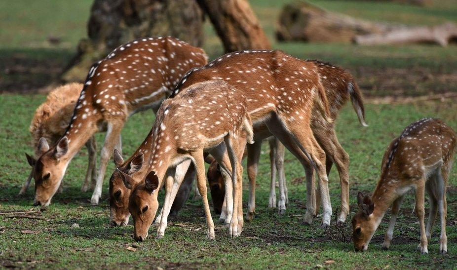 Spotted deers in the wild park of Kaziranga Assam.