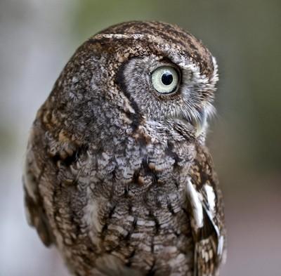 Screech Owl Portrait