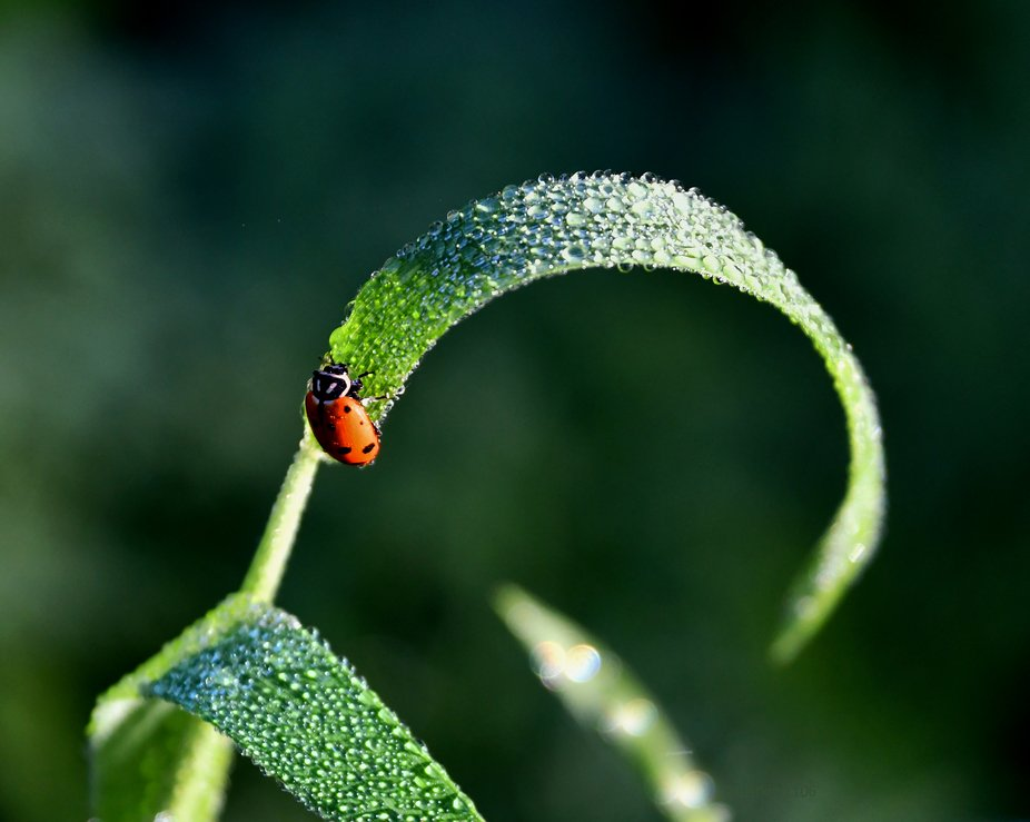 A ladybug climbing to the arch of a blade of grass.  Morning dew enhanced the moment.