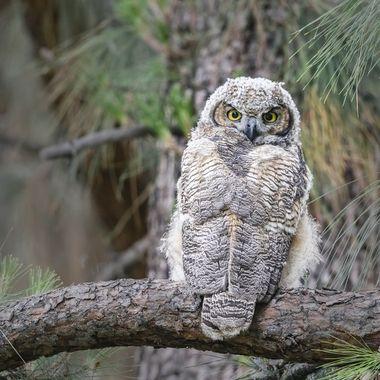 Great Horn Owl Juvenile DSC08665