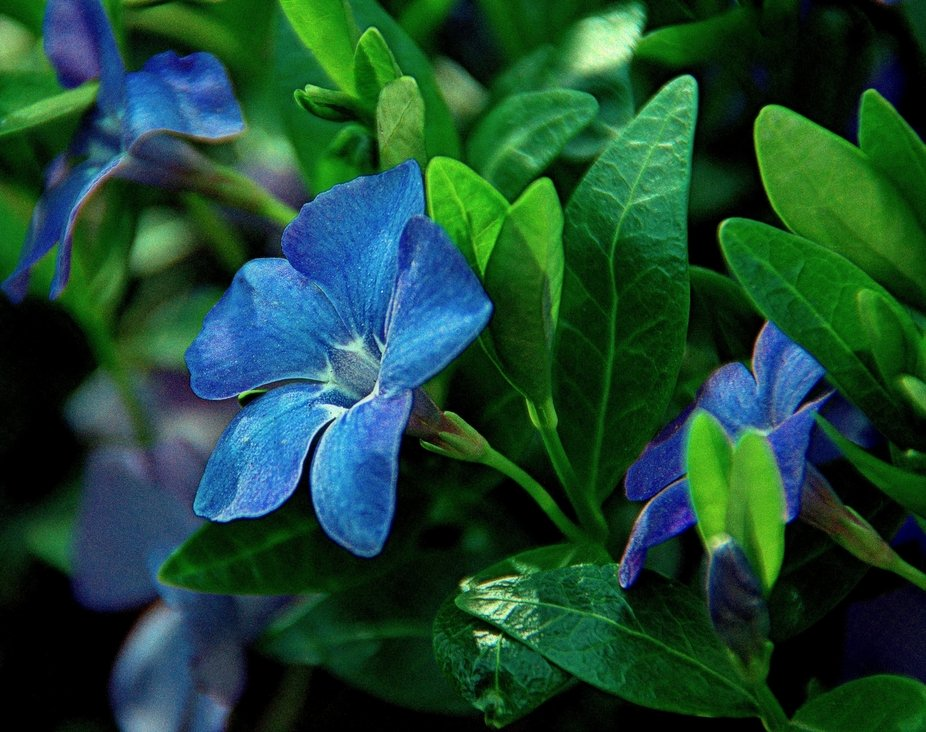 Forest periwinkle. May.