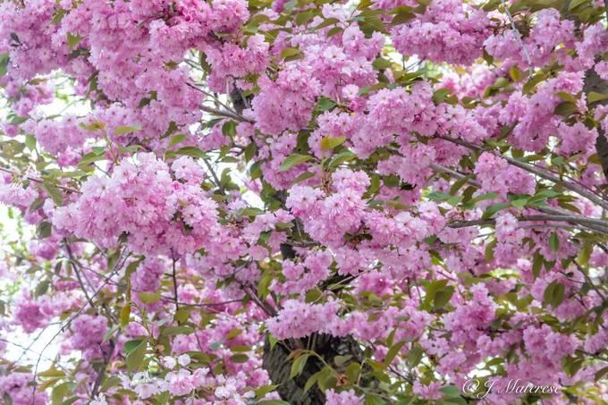 Boston Public Garden Cherry Blossom Tree 2