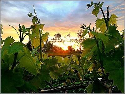 Tramonto incorniciato tra la vigna e l'uva.