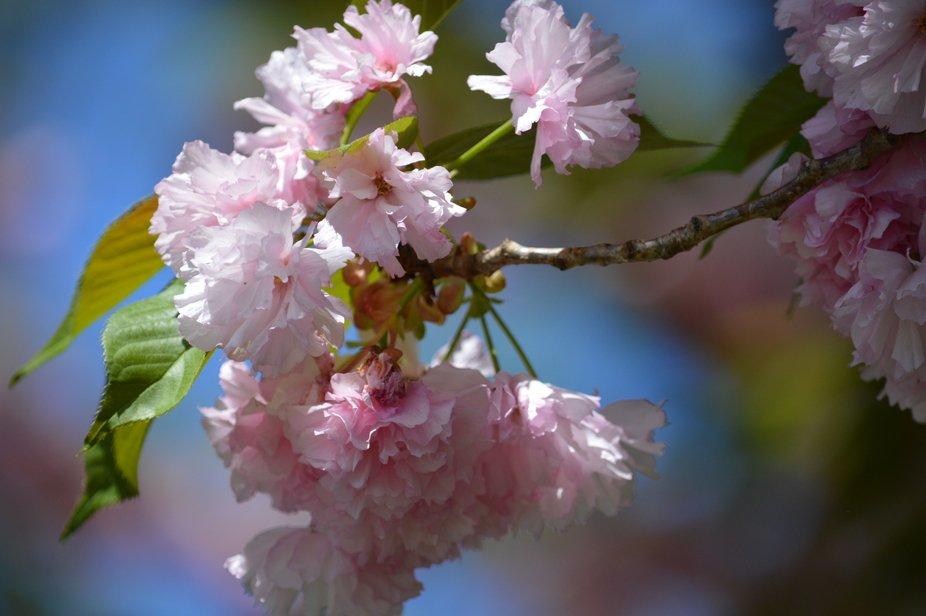 Cherry Blossom Limb