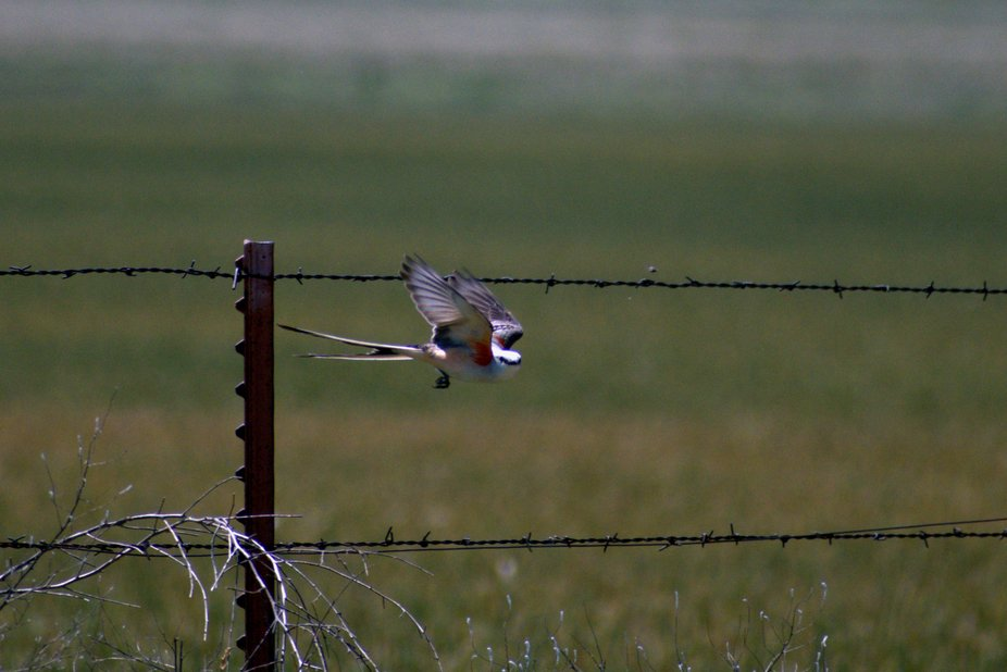 Flycatcher in flight