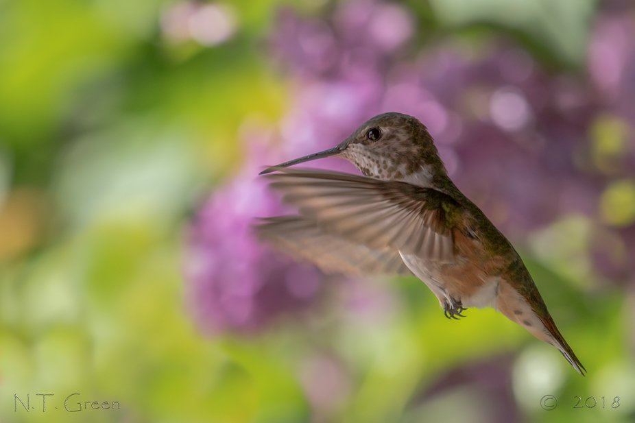 Had fun again with hummingbirds ...loved the softness of the lilacs behind this sweetie.    Copyr...