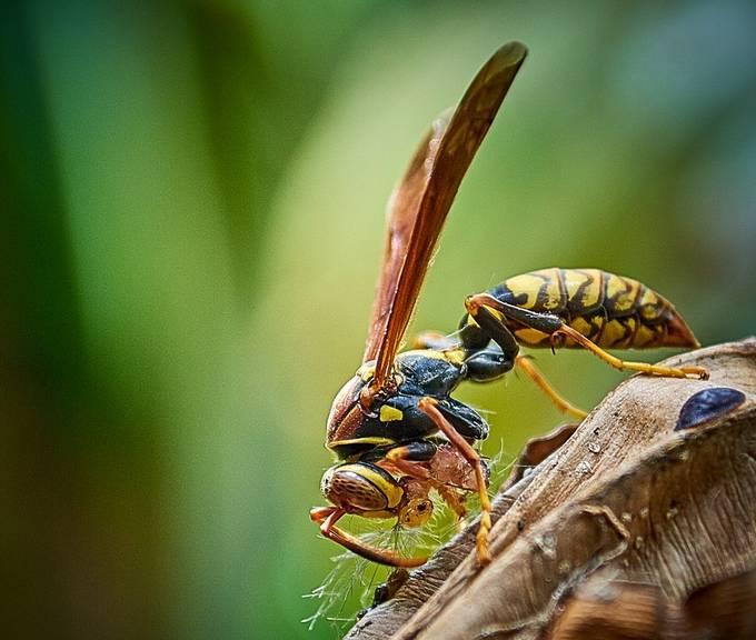 Beatiful Wasp eating something...