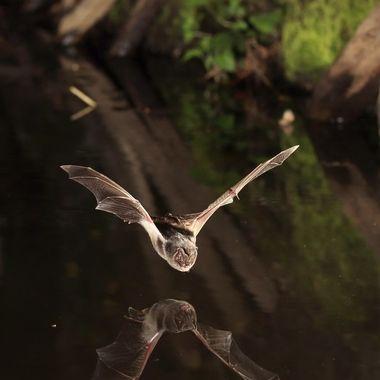 Murcielago posiblemente de herradura (Rhinolophus) en vuelo ,de caza sobre el agua, con reflejo. Barreras de IR y cuatro flashes a 1/8 Foto hecha en La Alberca.(Sierra de Francia-Spain)
