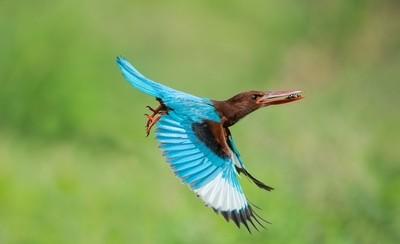 Avian mode (Kingfisher series)