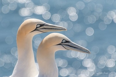 The northern gannet (Morus bassanus)