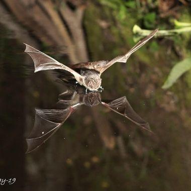 Murcielago del bosque o barbastela (Barbastelus barbastelus). Barrera de IR y cuatro flashes a 1/8. Fotografiado en La Alberca.Sierra de Francia.Spain.