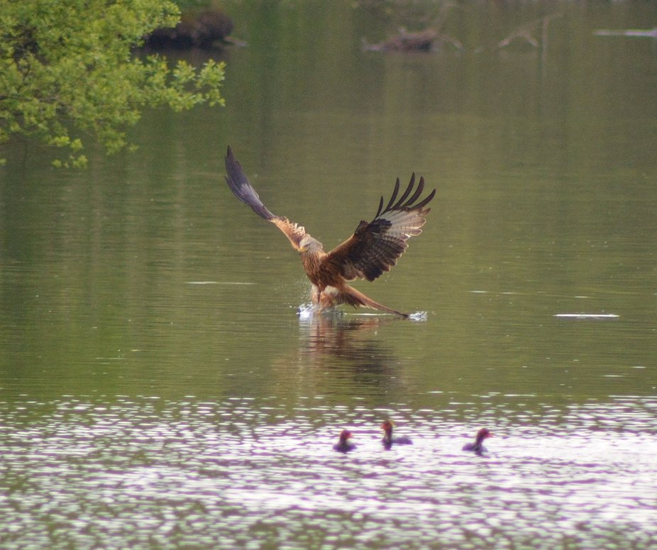 A red kite in action