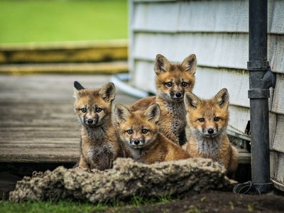 Red Fox babies
