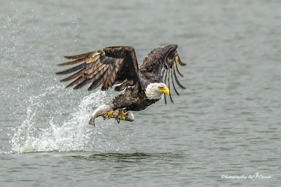 Bald Eagle grabs a rainbow trout from a small lake near San Jose, California