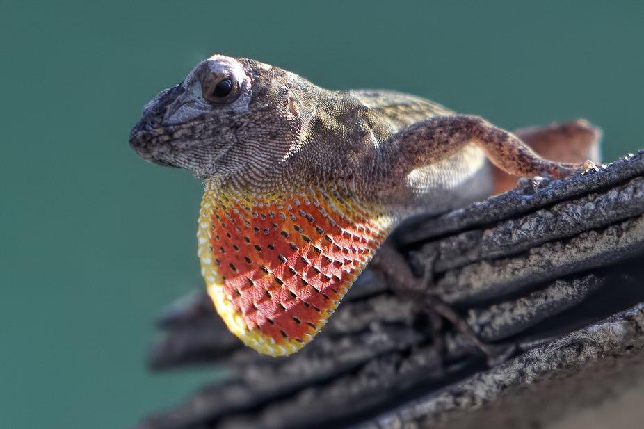 Neighborhood Wildlife Series - Brown Anole Lizard