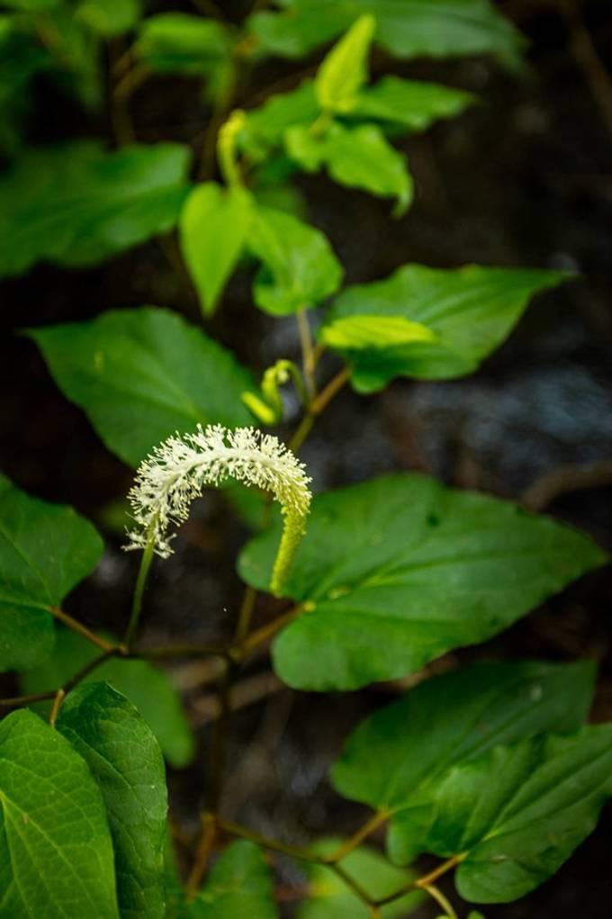 Flowers of Sawnlake Iris Gardens