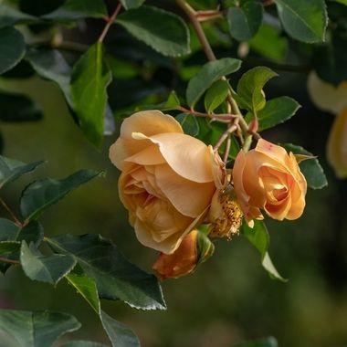 rose-5639