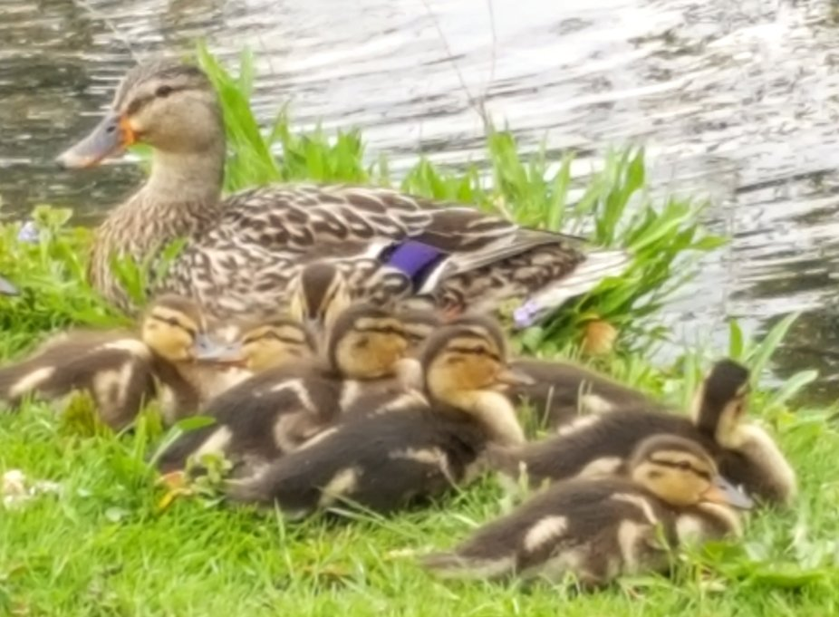 Mom and ducklings
