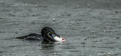 Rainy Day Cormorant.
