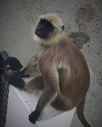 A monkey is sitting on my family residential main gate, watching me when I was on my rooftop.