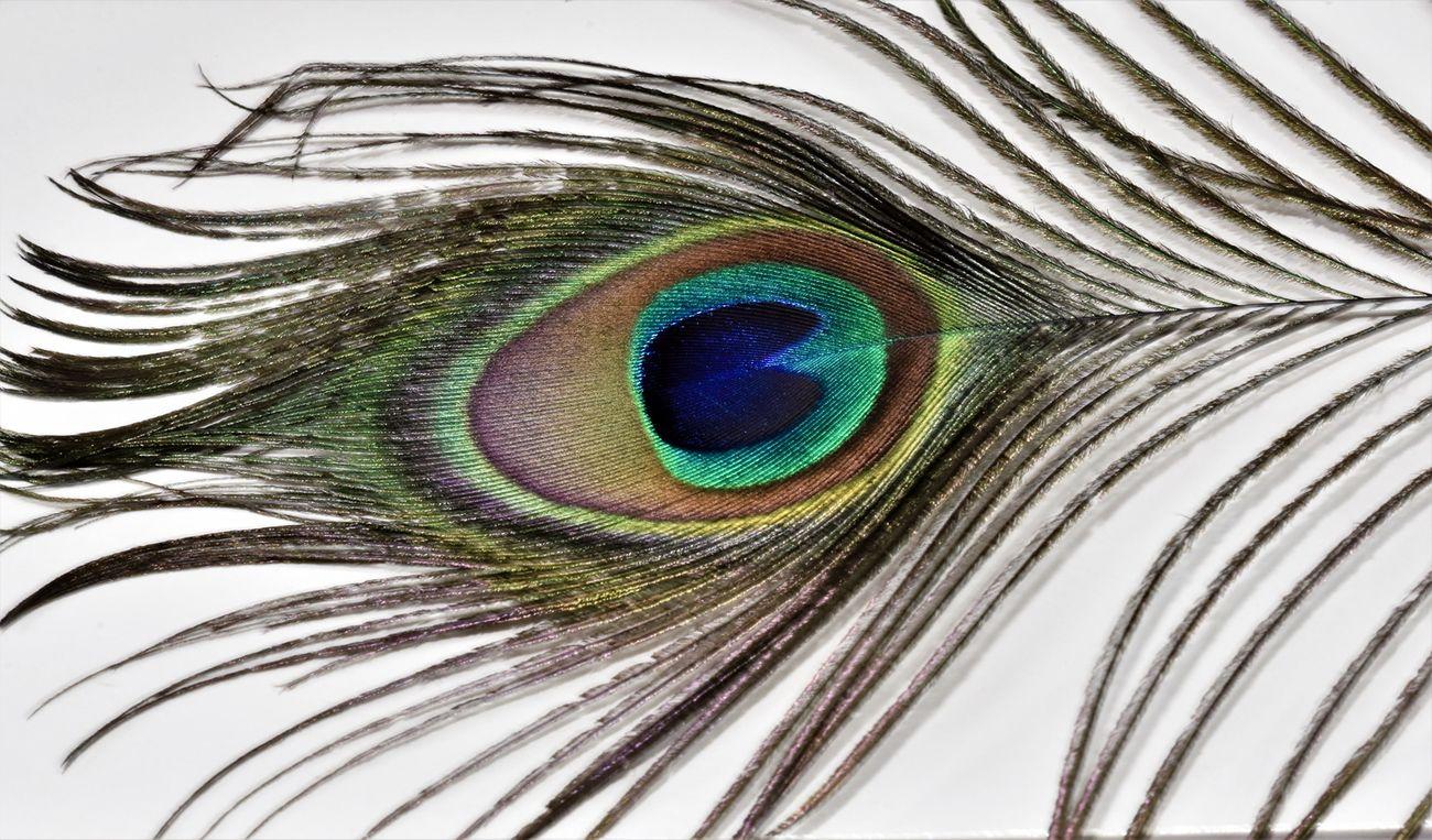 Plume De Paon - Peacock Feather (2)