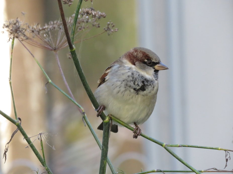 Sparrow perched on the branch of a bush on which it is feasting on seeds. Manawatu Esplanade Gard...