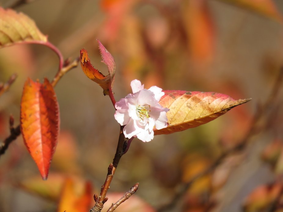 Tiny pink blossom flower blooming in sunlight against all odds as the tree is dropping its dying ...