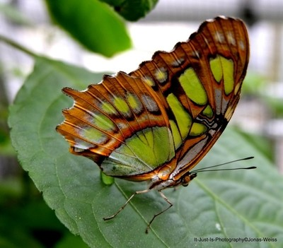 Green-Brown Butterfly