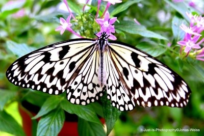 White-Brown Butterfly
