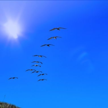 NSB Flock of Pelicans in the Sky