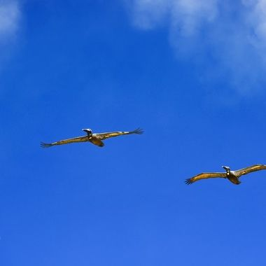 NSB Two Pelicans Flying Over