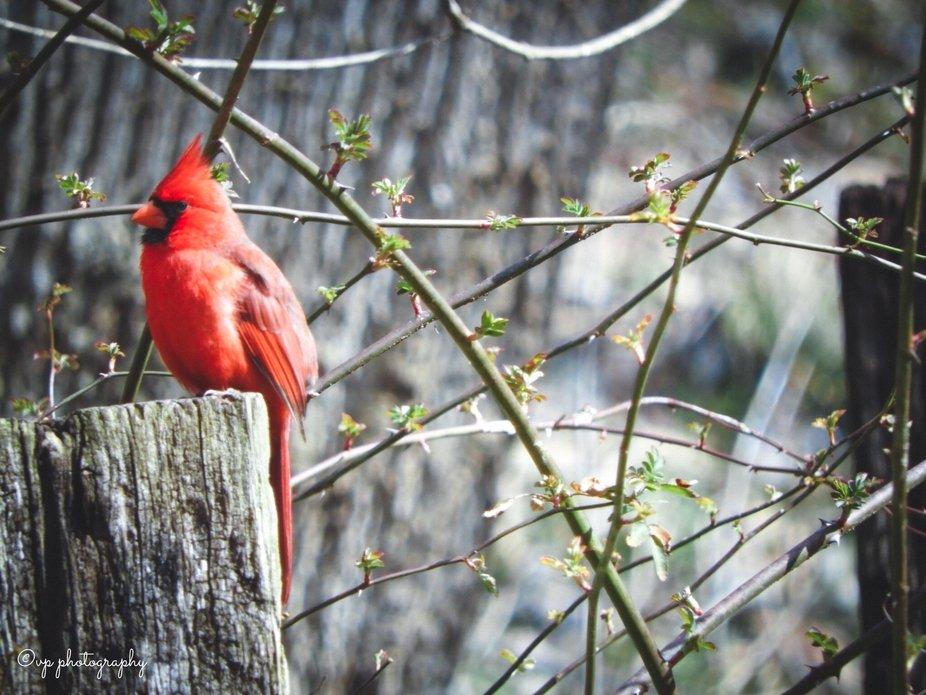Male Cardinal taken March 2019, Buttermilk Falls Trail in Brandenburg, Kentucky