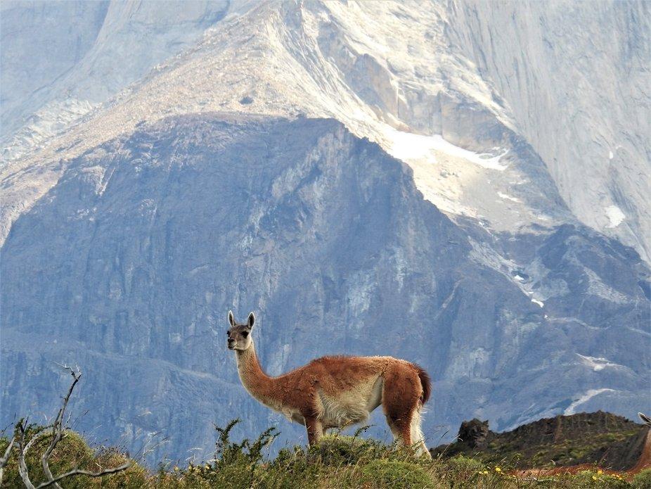 GUANACO EN TORRES DEL PAINE - CHILE