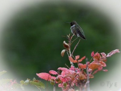 Black chinned hummingbird - Archilochus alexandri.