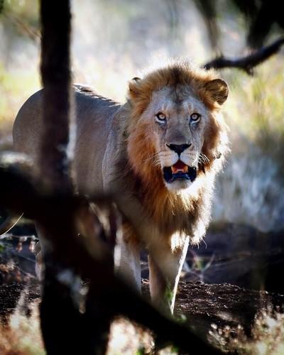 Riffel Africa Lion 6527