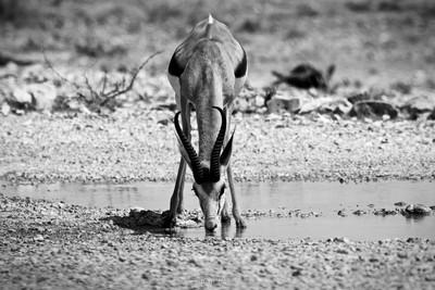 Springbok - Etosha 1