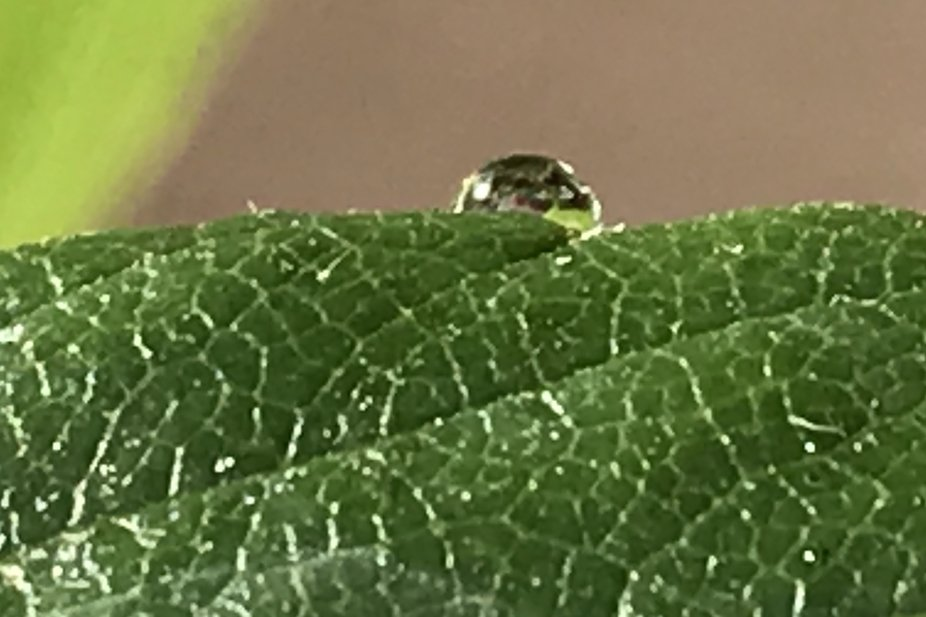 The Lone Water Drop on Strawberry Leaf I