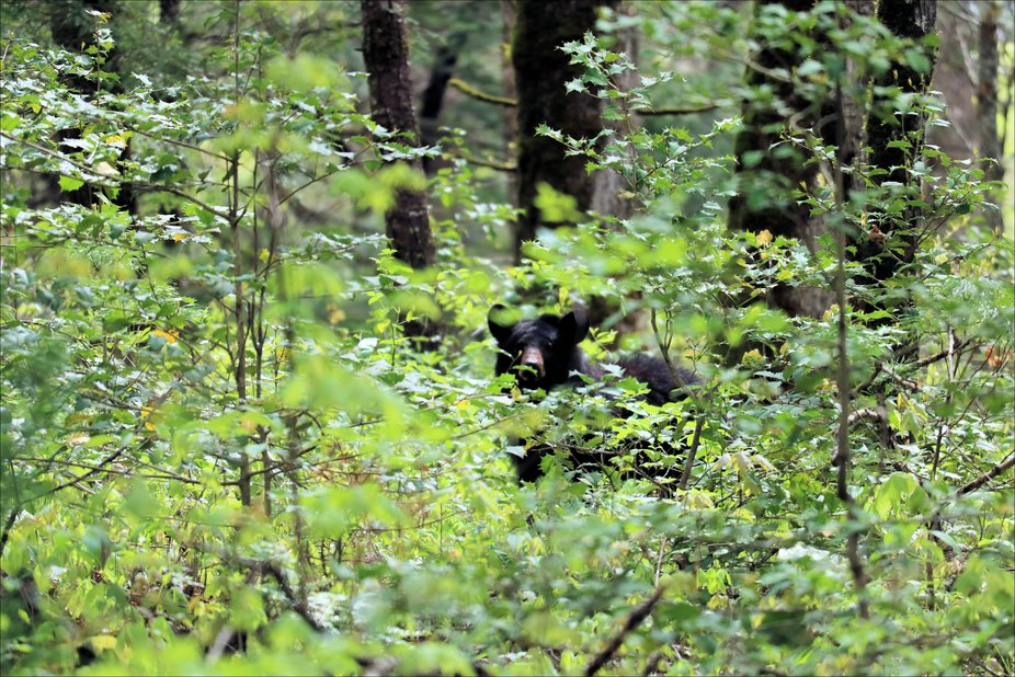 An American Black Bear roaming around Cades Cove in the Great Smoky Mountains National Park.