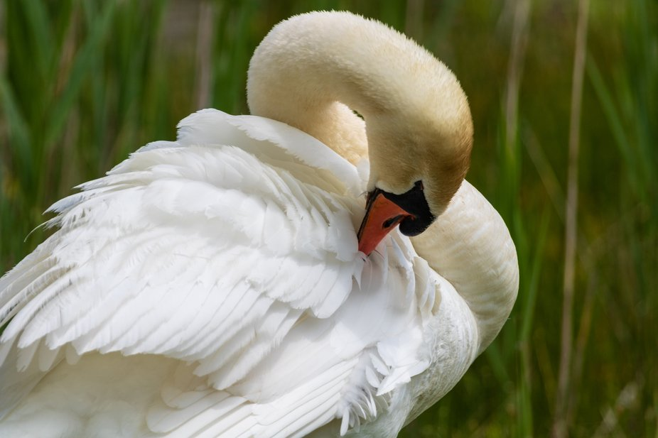 Mute swan is grooming its feathers after a swim in the pond.