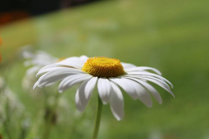 Closeup of daisy