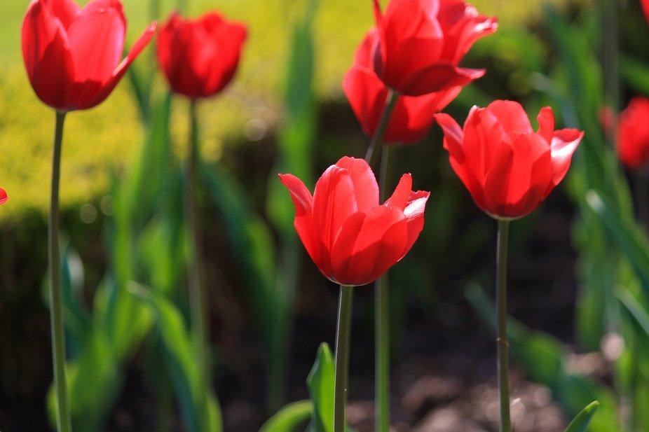 Tulipes a contre-jour
