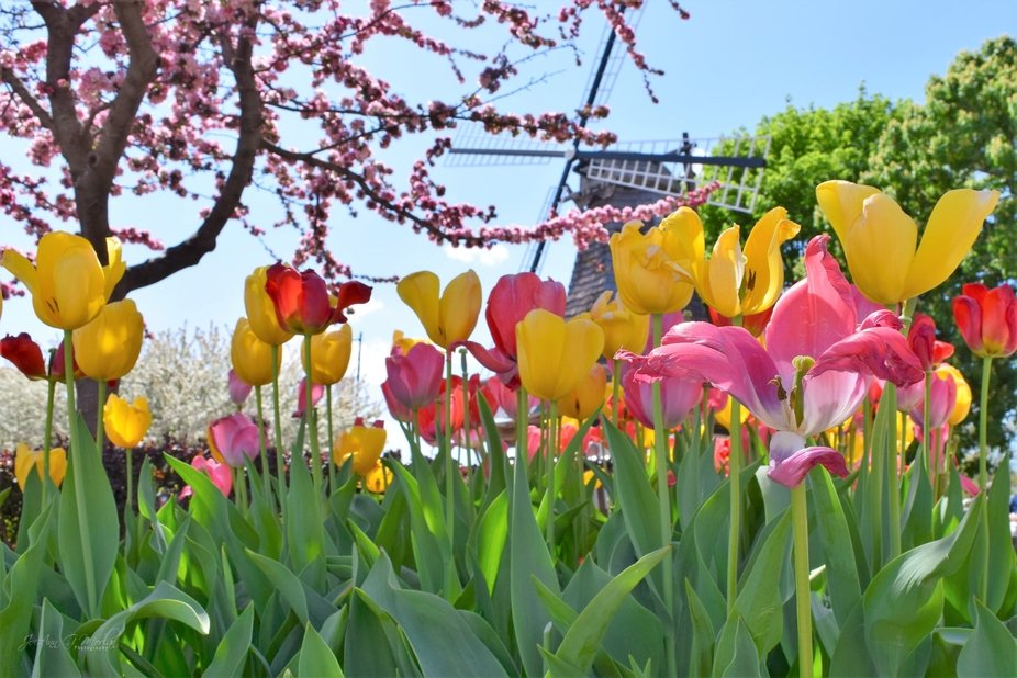 Tulip Festival in Pella, Iowa, an annual event celebrating the founding of this town by Dutch imm...